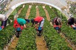 Sute de locuri de muncă sezoniere la recoltarea căpşunilor în Spania