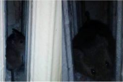 VIDEO: Șoareci și insecte în salon cu pacienții la Spitalul de Pneumoftiziologie din la Aiud