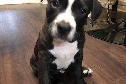 FOTO / Pui de câine din rasa Amsstaff, în vârstă de 10 săptămâni, furat de pe strada Dâmboviţei, căutat de poliţiştii Secţiei 2 Poliţie