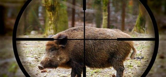 Bihor: Patru indivizi au vânat un porc mistreț cu pestă porcină iar mai apoi l-au gătit