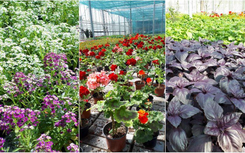 15 specii de flori și plante aromatice, de vânzare la serele din campusul USAMV Cluj-Napoca