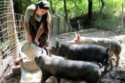România trebuie să desființeze creșterea porcilor în coteț pentru eradicarea trichinelozei