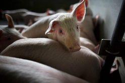 19 porci sacrificați într-un sat din Sălaj, unde a fost confirmată pesta porcină
