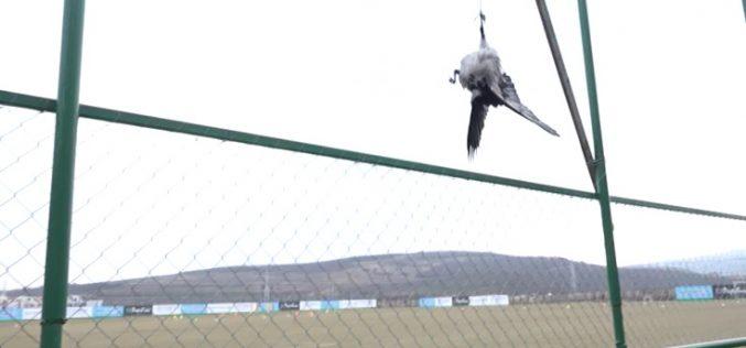 VIDEO / CFR Cluj a spânzurat patru ciori pe terenul de fotbal, înaintea partidei cu Sepsi Sf. Gheorghe