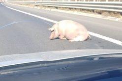 Porc căzut dintr-o mașină de transport, fotografiat pe autostrada A1 Orăștie-Sibiu